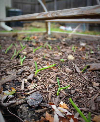 20121103. Garlic sprouts.