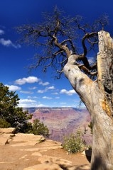 Lonely tree by the Grand Canyon