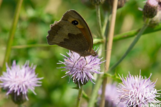 Butterfly and Thistles – Daily Photo (5th August 2012)