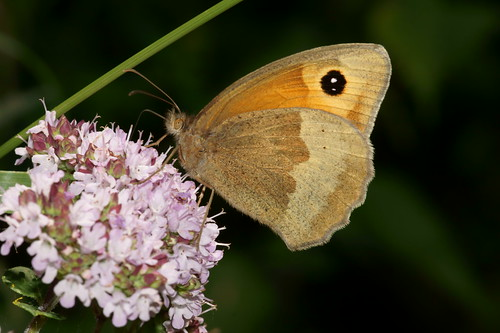 Meadow Brown (Maniola jurtina), f
