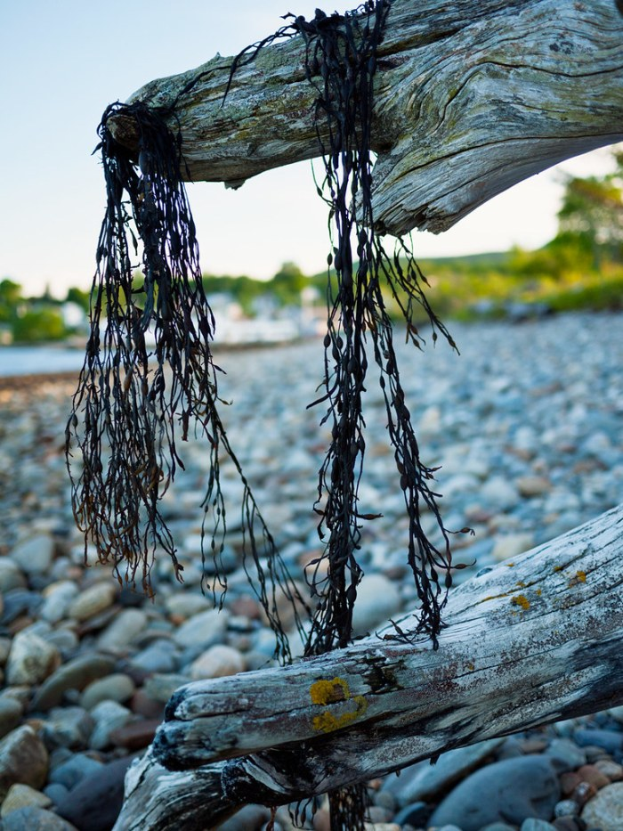 Penobscot Bay Driftwood Lincolnville Maine 1