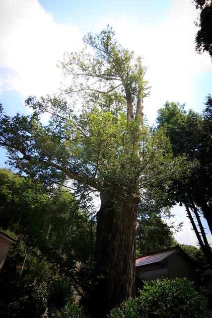 #66 The Giant Nutmeg-yew of Kakujouin