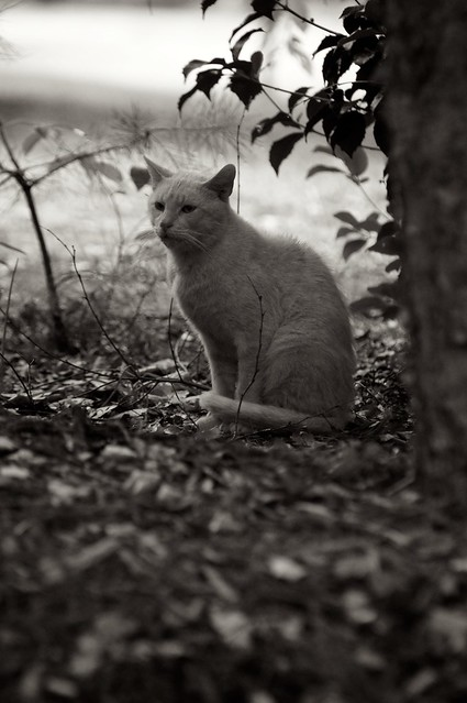 Old Yellow Cat