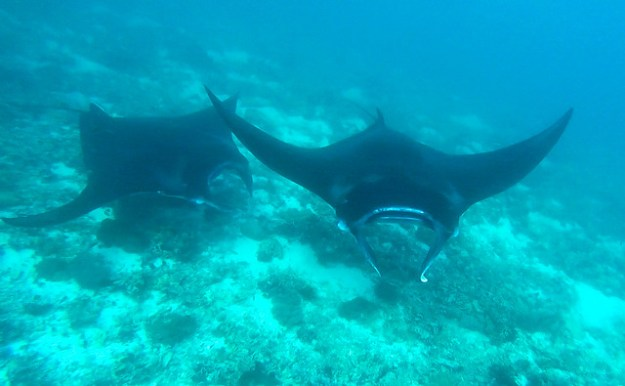 Manta rays at Makassar Reef, Komodo