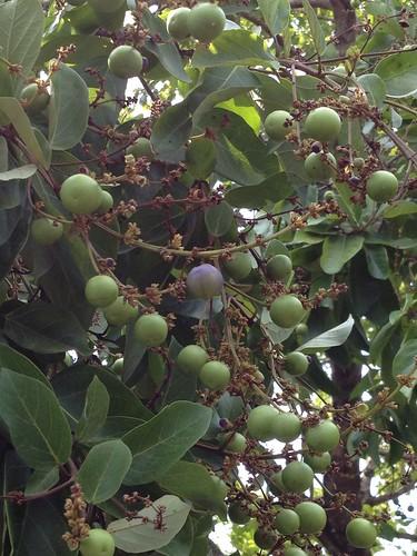 Gmelina fasiculiflora