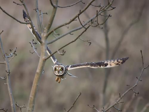 Short-eared Owl-through the trees