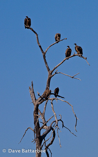 Whitebacked Vultures