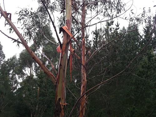 Peeling eucalyptus