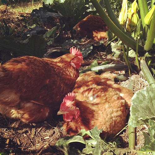 I love that my zucchinis are now big enough that the chickens can shelter in the shade of them.