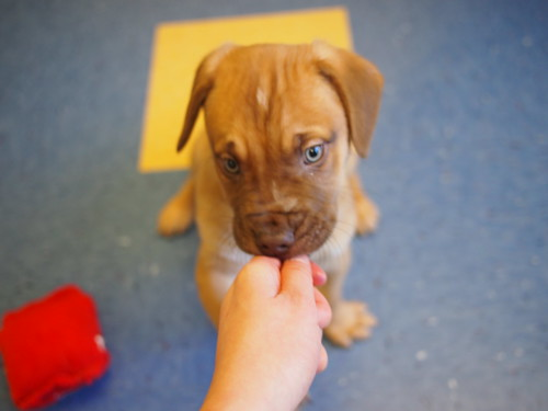 pit/mastiff puppies