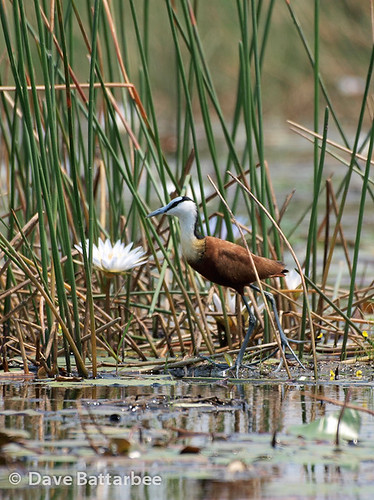 African Jacana lily hopping