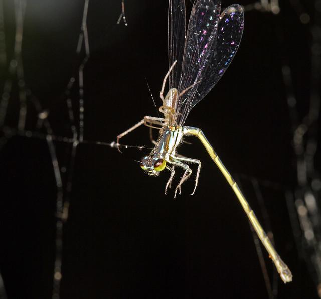 Spider vs Damsel