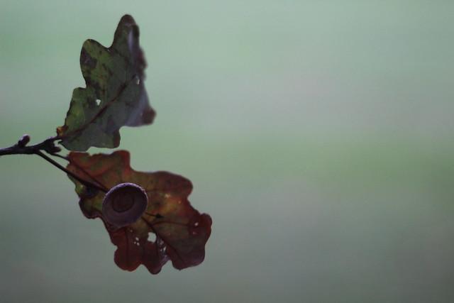 Fallen acorn