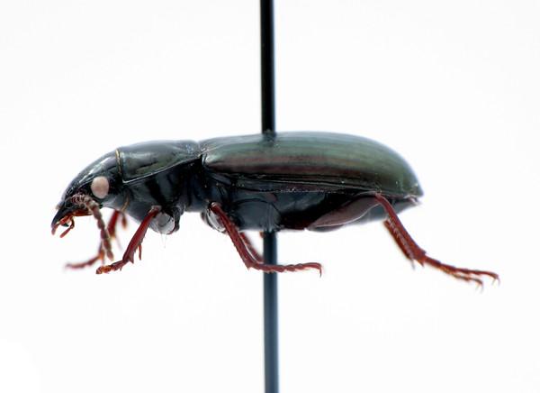 Pterostichus (Stereocerus) haematopus - black/metallic version - lateral