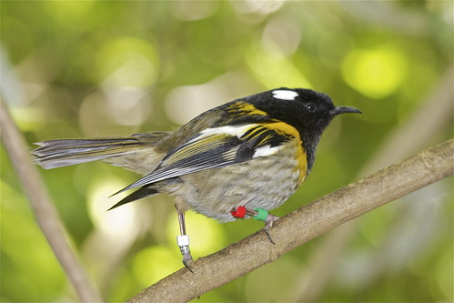 Hihi (male) - stitchbird - Notiomystis cincta