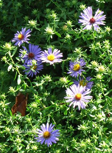 Little Purple Aster Flowers