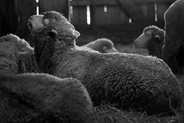 Sheep Barn 1