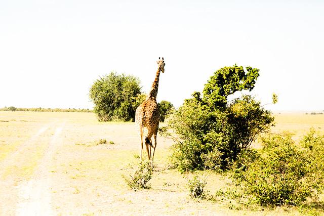 Giraffes (4)