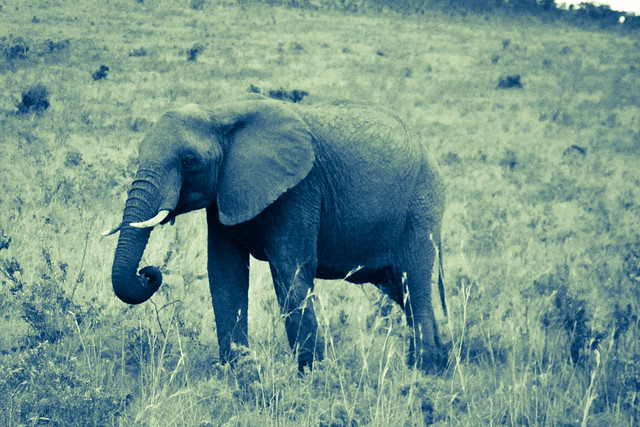 Kenyan Elephants! (4)