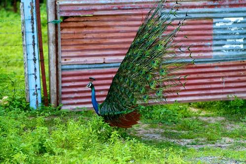A peacock (2)