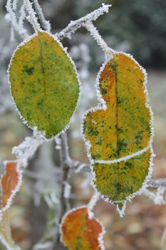 """Frozen apple tree leaves"" di elPadawan"