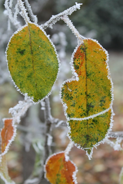 Frozen apple tree leaves