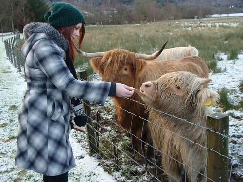 Feeding the Hairy Coo