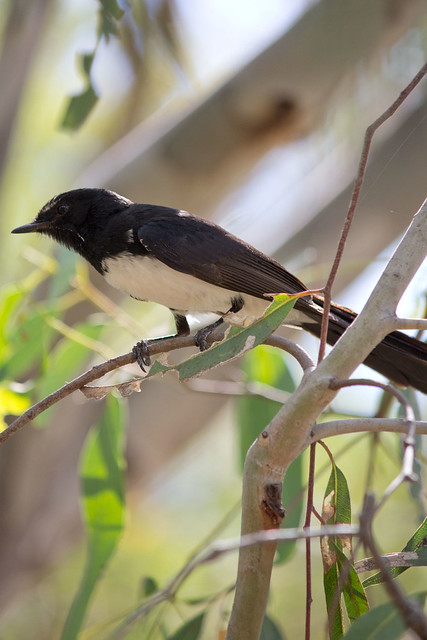 Willie Wagtail, 2012-01-29 (_MG_1817)
