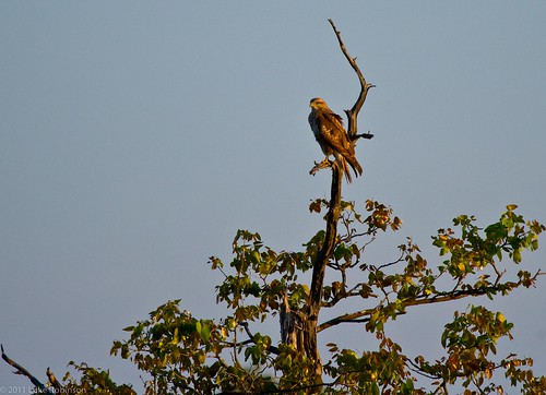 Common/Steppe Buzzard, Kruger National Park, South Africa
