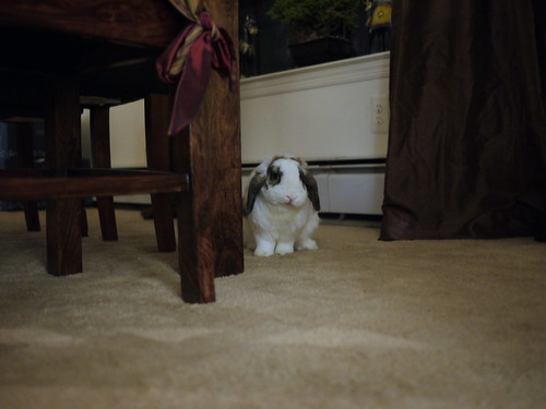 betsy peeks out from behind the table leg