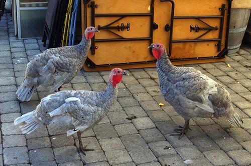 Patio Turkeys