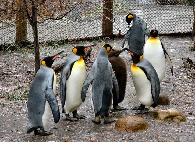 Penguin Gaggle