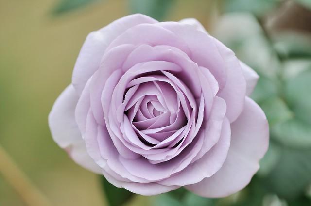 求淡紫色玫瑰的品種名稱 - 花花世界 - 生活花卉園藝論壇