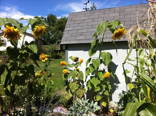 Sunflower sentinels surround the Annex garden. Left: mammoth, Center: TeddyBear. 09-08-11
