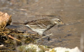2012_01_17 LN - Water Pipit (Anthus spinoletta) 02