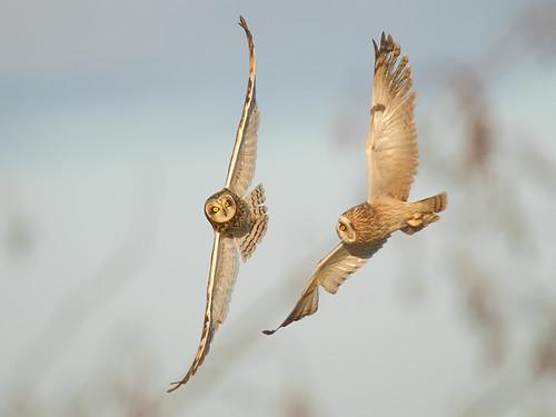 Short-eared Owls-aerial ballet