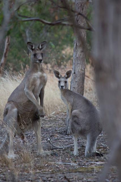 Kangaroos 2012_01_26