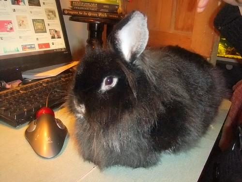 Puffer Bunny
