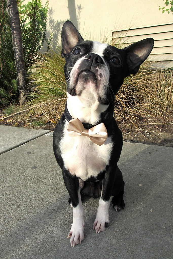 Rocky looking dapper in his bow tie