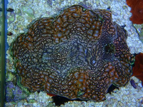 Squamosa Clam (tridacna squmosa)