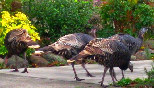 Turkeys, too by dyannaanfang