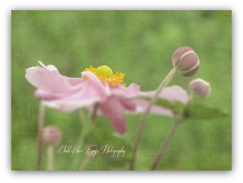"""""""One of the most delightful things about a garden is the anticipation it provides.""""  ~W.E. Johns by Child of the King Photography-Beckie"""