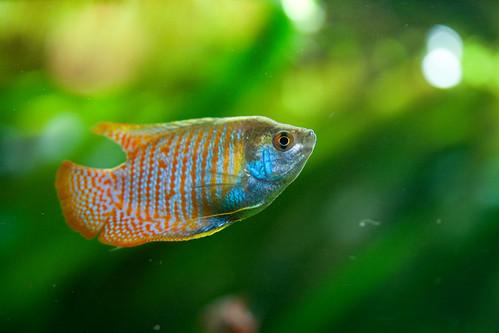 Zwergfadenfisch-Männchen