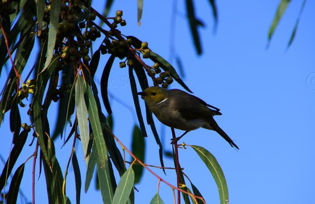 Watching Honeyeater