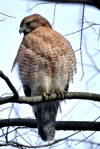 Hawk from the Front