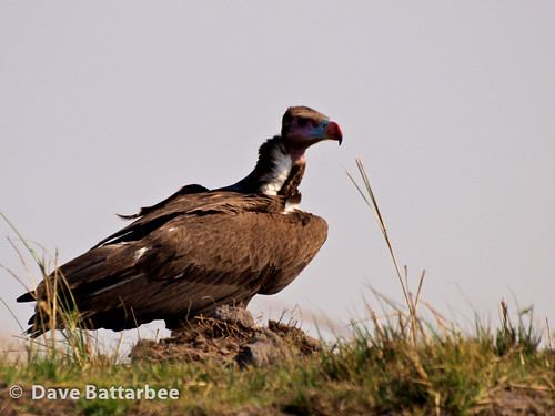 Whiteheaded Vulture