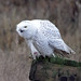 Snoy Owl at Rest