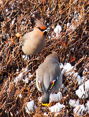 Front and back views as Bohemian Waxwings raid berries from our hedge