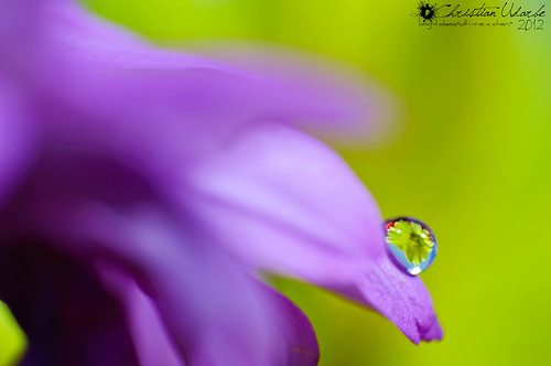 Dew Upon the Flower (Macro) by Bright Ideas with Chan Udarbe