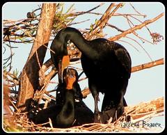 Cormorant Pair